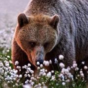 Медведь в цветах