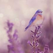 Птичка на лаванде