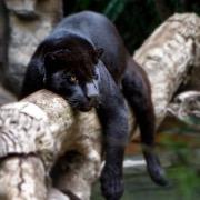 Пантера на ветке