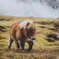 мохнатый пони